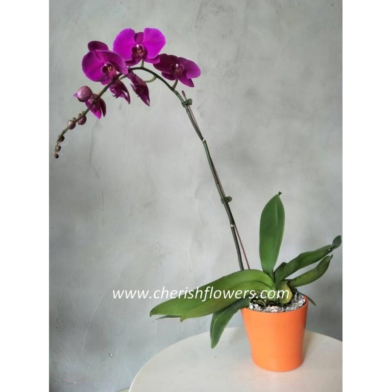 FA64 - Phalaenopsis Orchid Arrangement